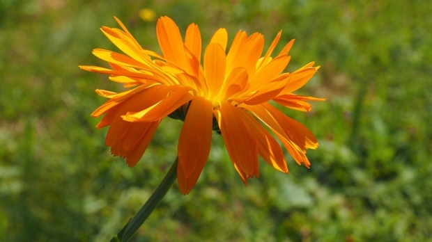 marigold-2117383_960_720-e1498094859903.jpg